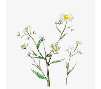 Aster-Weed
