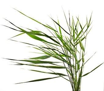 Johnson-Grass