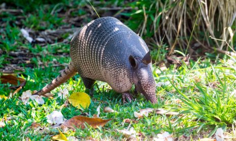 Armadillo eating grub worms