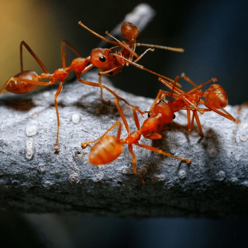 Treatments For Fire Ant Bites Diy Home Remedies