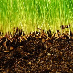 Aeration improves strong lawn roots