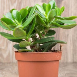 popular house plant, jade