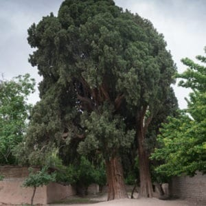 individual tree