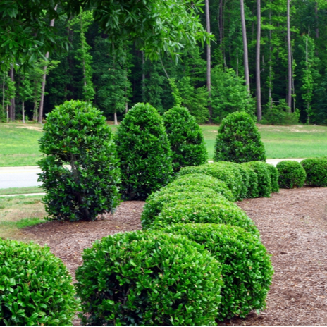 A row of round shrubs