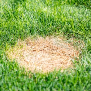 Helping someone prevent brown patch and other lawn diseases is part of the perfect gift: a lawn care program from Gro Lawn.