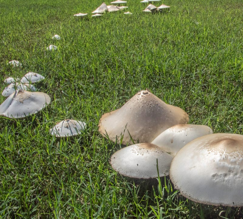Fairy ring is a common winter and spring lawn diseases affecting Flower Mound, TX lawns every year.