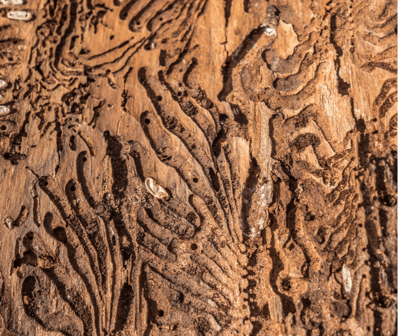 Emerald ash borer damage to a tree