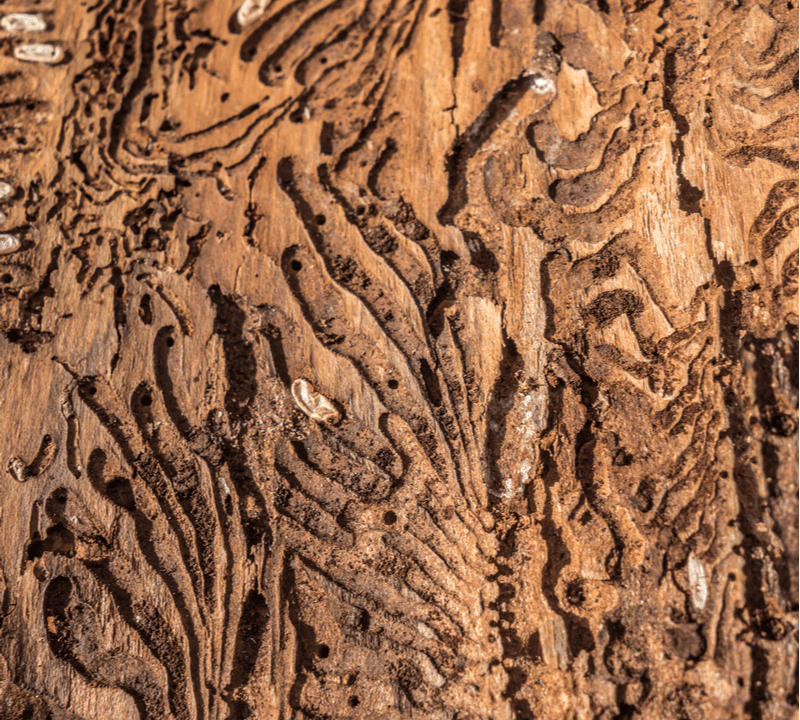 Emerald ash borer damage to a tree