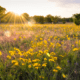 sunset over a field of yellow flowers