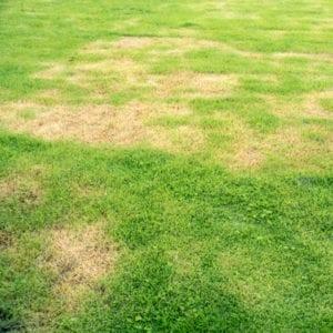 grub damaged lawn